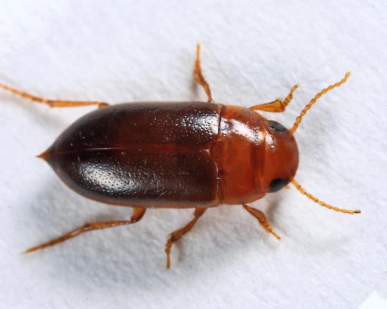 Dytiscid - Celina angustata - male