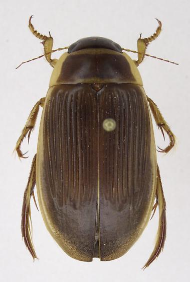 Dytiscus cordieri - female