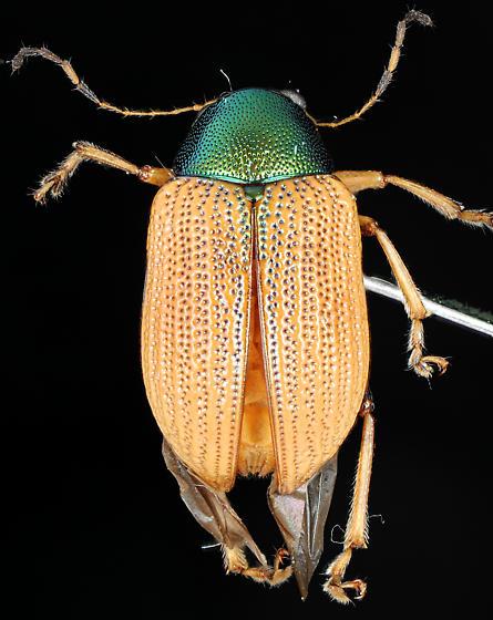 Colaspis viriditincta, dorsal - Colaspis viriditincta