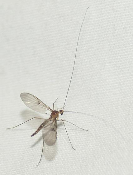Long-antenna fly - Macrocera - male