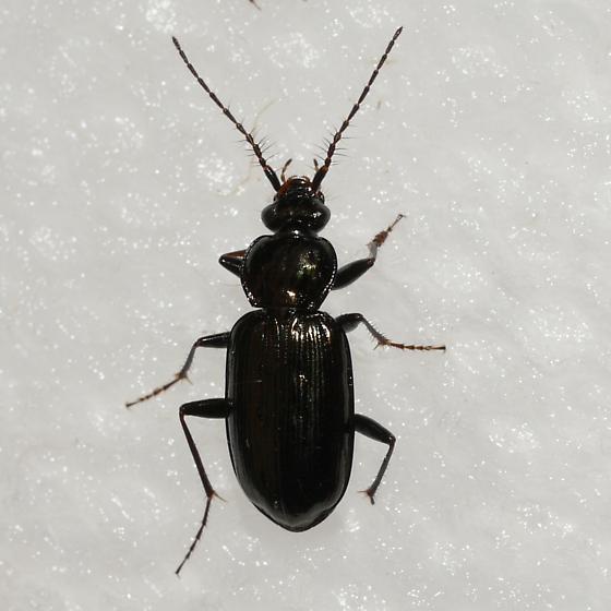 beetle - Loricera pilicornis