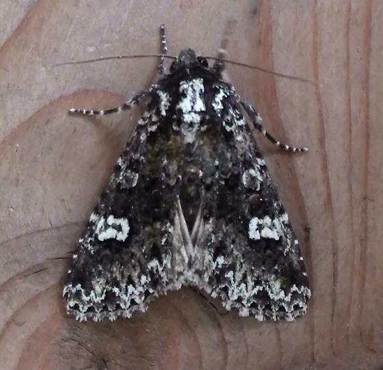 Noctuidae: Melanchra adjuncta  - Melanchra adjuncta