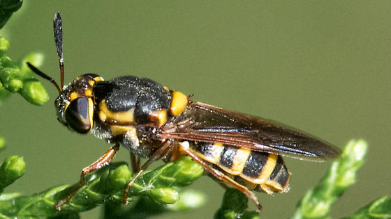 Wasp mimic fly - Hoplitimyia constans - female