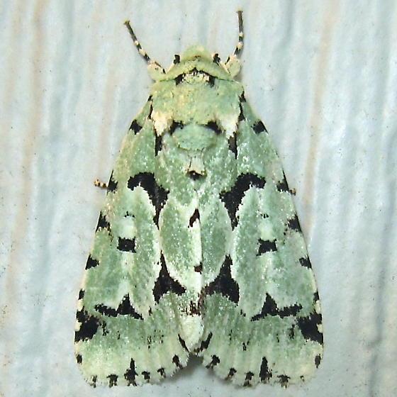 Green Marvel - Hodges #9281 (Agriopodes fallax) - Acronicta fallax