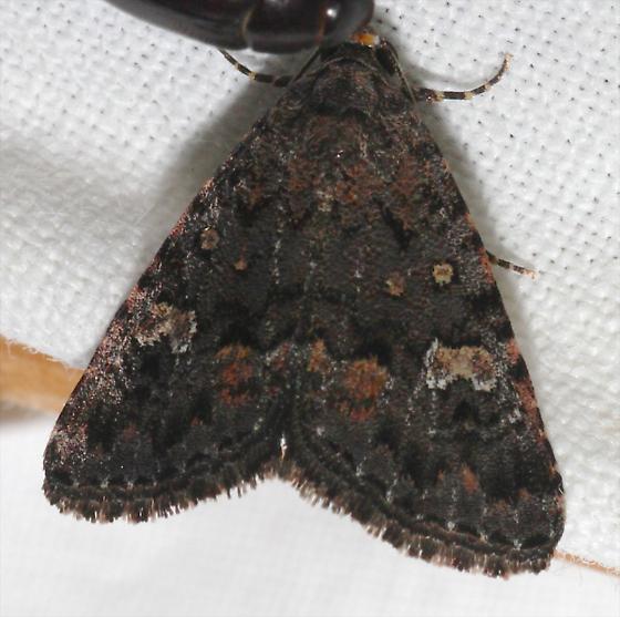 Dark Moth Sta. Rita Mtns. - Amiana niama