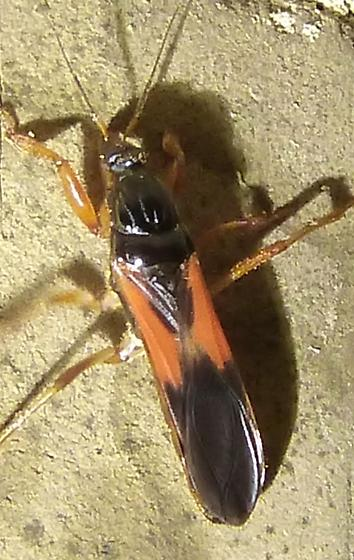 unknown insect - Sirthenea carinata