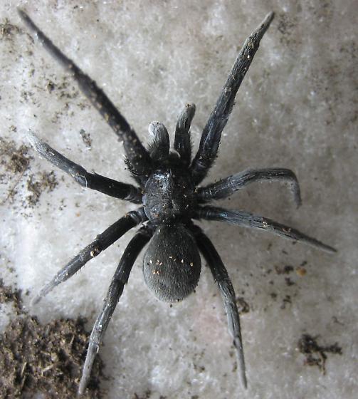 Possible Trapdoor Spider? - Kukulcania