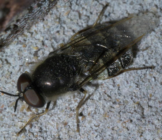 Black and pale soldier fly - Odontomyia interrupta
