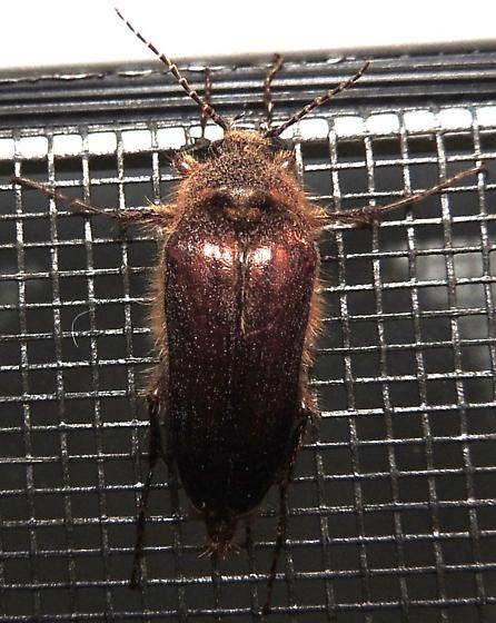 interesting hairy beetle - Scaptolenus