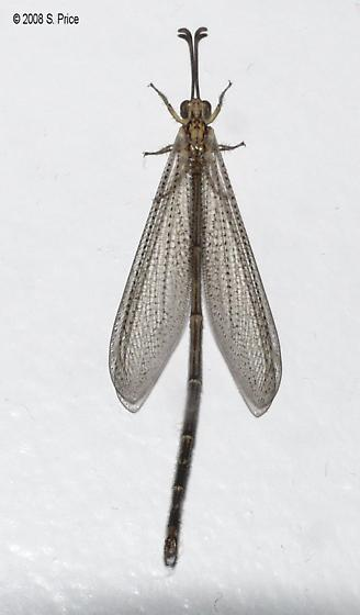 Antlion species ID? - Brachynemurus abdominalis - male