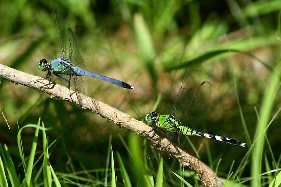 Eastern Pondhawk - Erythemis simplicicollis - male - female