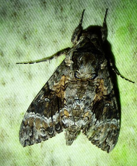 unknown sphinx - Agrius cingulata
