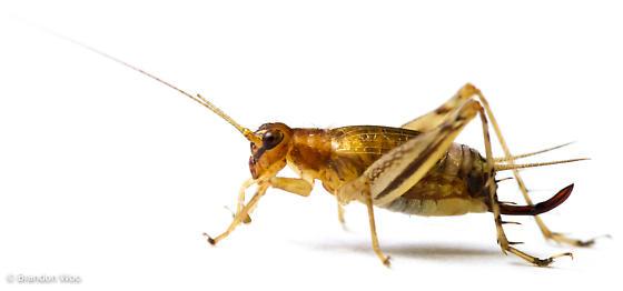 Anaxipha exigua - female