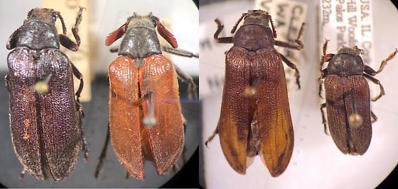 Sandalus niger, Sandalus petrophya comparison - Sandalus