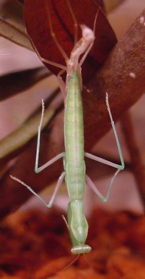 Molting - Mantis religiosa