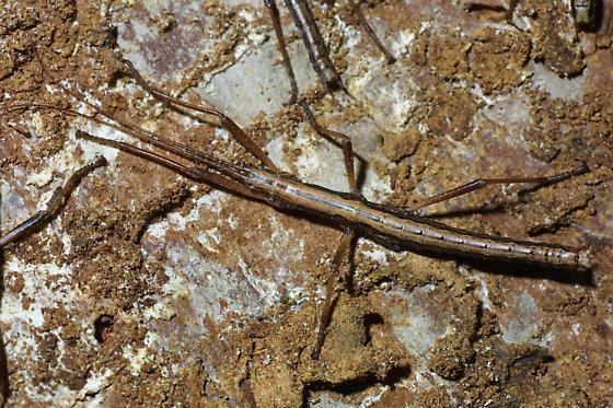 Two-striped Walkingstick, male - Anisomorpha buprestoides - male
