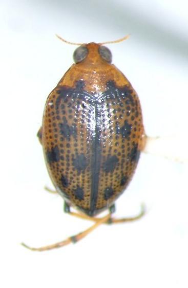 Peltodytes sexmaculatus