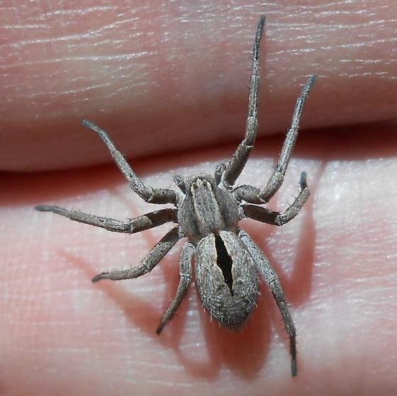 Unknown Spider. Huntsman? - Thanatus