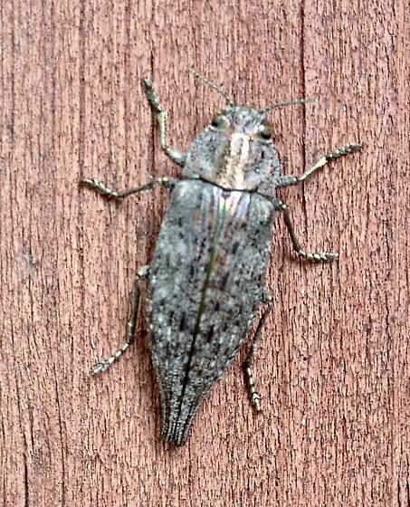 Eastern Poplar Buprestid - Poecilonota cyanipes