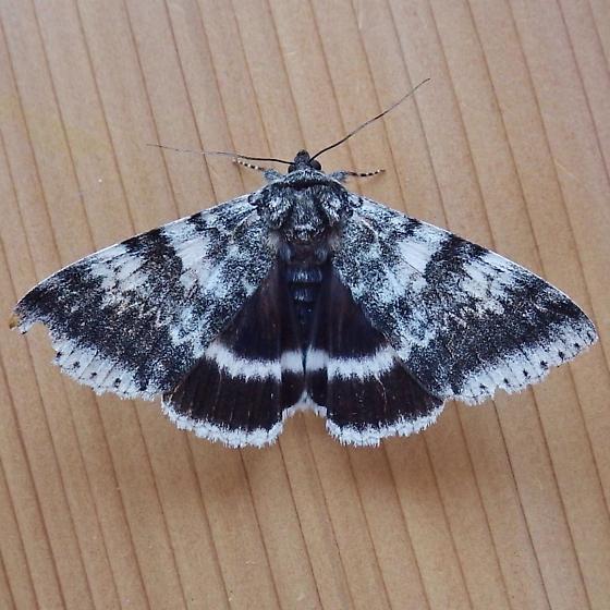 Erebidae: Catocala relicta - Catocala relicta