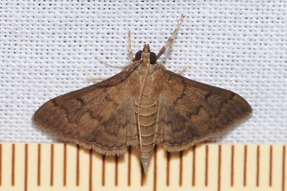 Moth - Herpetogramma phaeopteralis