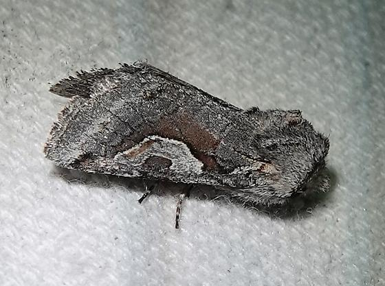 Stretchia plusiaeformis  - Stretchia plusiaeformis