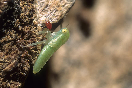 Leafhopper Nymph with Mite - Idiocerus