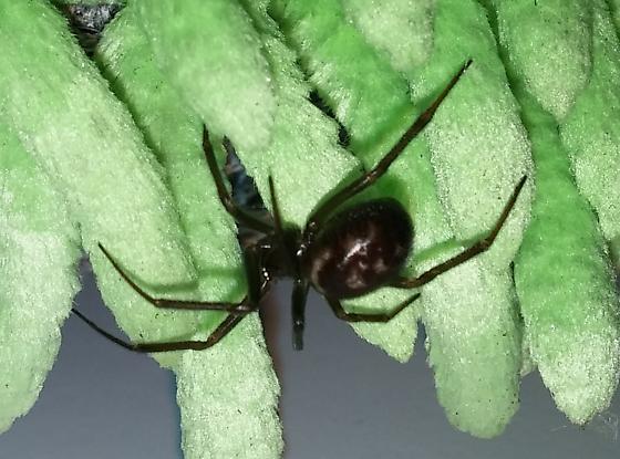 Western Oregon Black/Brown widow-like spider - Steatoda ...