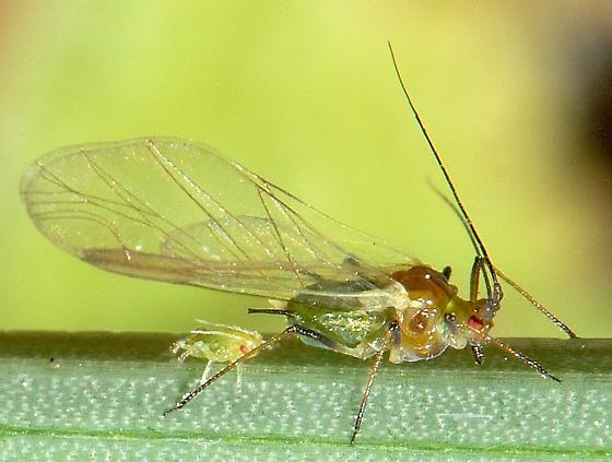 Mother aphid and recent child - Sitobion avenae