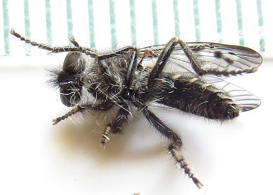 Robber fly ? very small - Eucyrtopogon