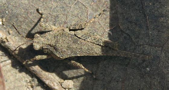 Hopper Bugguide Net