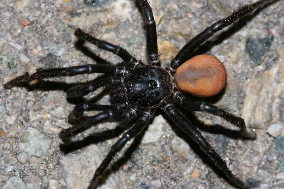 desert spider - Bothriocyrtum californicum