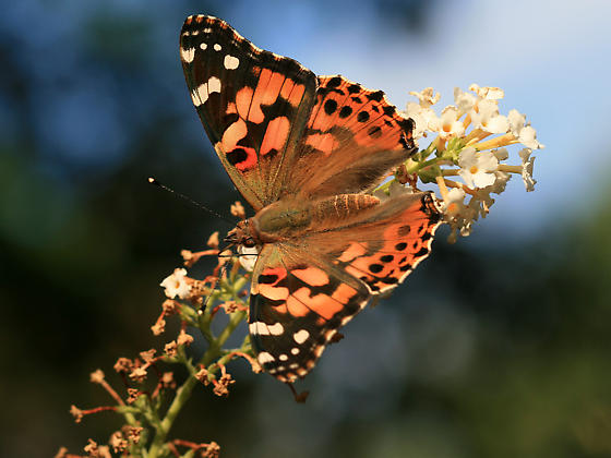 Painted Lady Butterfly - Vanessa cardui