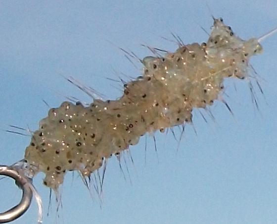Spiny Water Flea - Bythotrephes longimanus - male - female