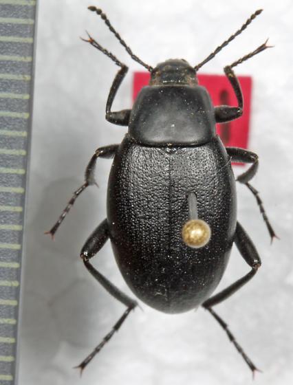 Tenebrionidae - Eleodes opaca