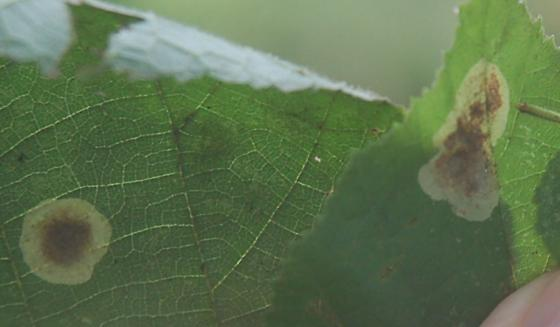 Stagecoach road leaf miner on Corylus species D728 2017 1 - Cameraria corylisella