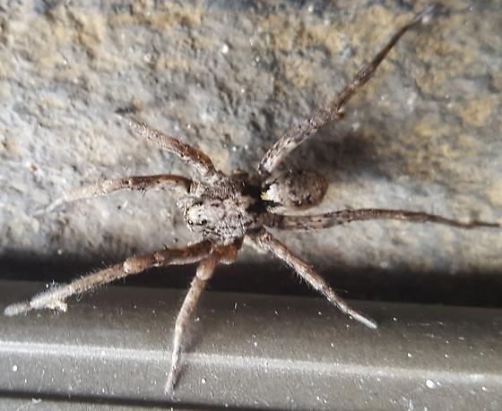 Wolf Spider? - Gladicosa pulchra