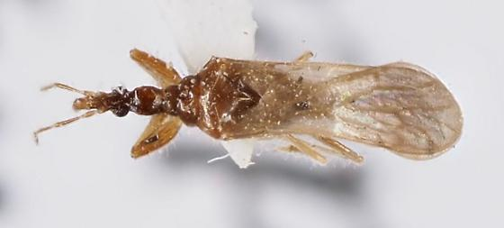 Unique-headed Bug Enicocephalidae - Systelloderes