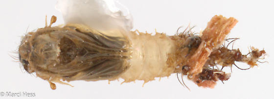 Hymenoptera from Boxelder with possible beetle - Forcipomyia