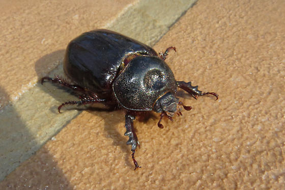 Ox Beetle - Strategus cessus - female