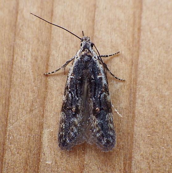 Gelechiidae: unknown specimen - Xenolechia