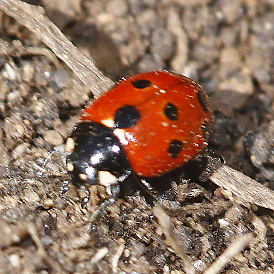 Eleven-spotted Ladybird? - Coccinella undecimpunctata