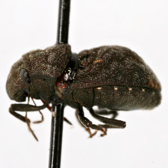 Acantholomidea - Acantholomidea porosa