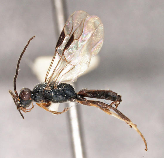 Dryinus halsteadi - male