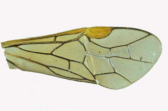 Common sawfly