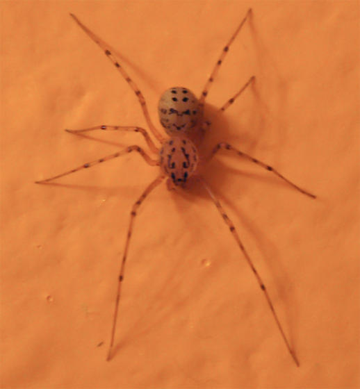 Please identify this spider - Scytodes thoracica