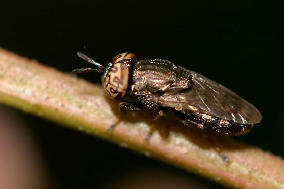 Fly - Orthonevra nitida - male