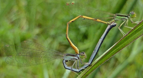 Mating Citrine Forktails - Ischnura hastata - male - female