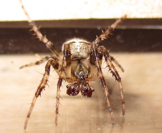 Adult Male - Araneus corticarius - male