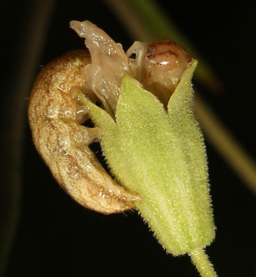 Noctuidae, Campion Coronet - Hadena ectypa